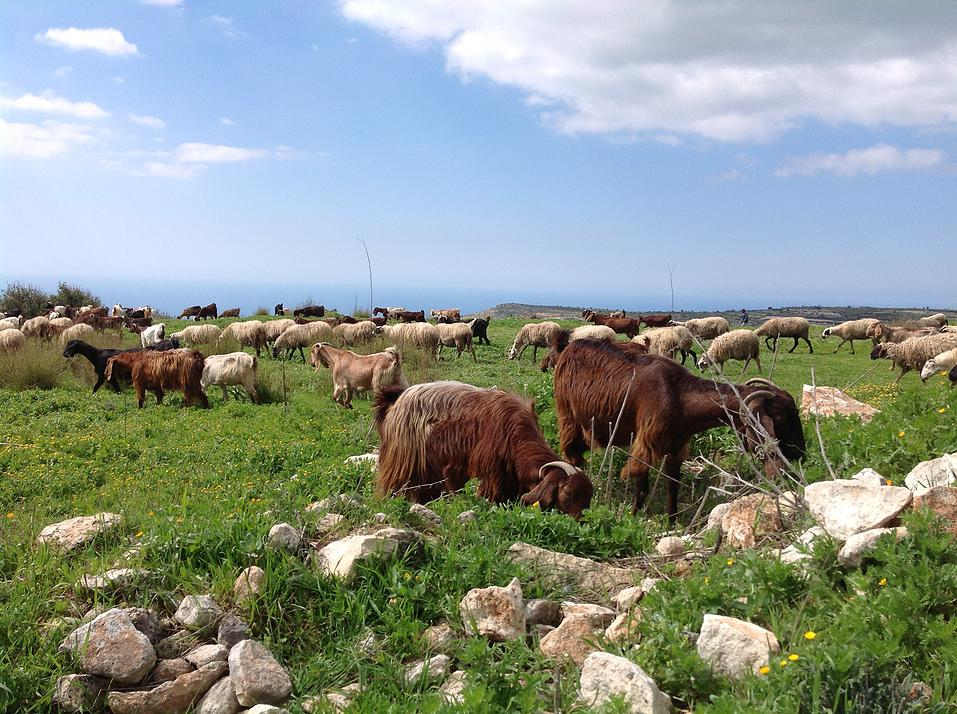 Goats-grazing-in-the-Laonas-area