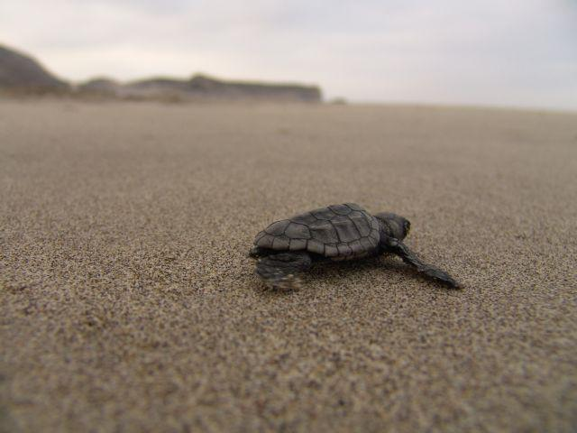 Turtles-are-protected-in-the-region
